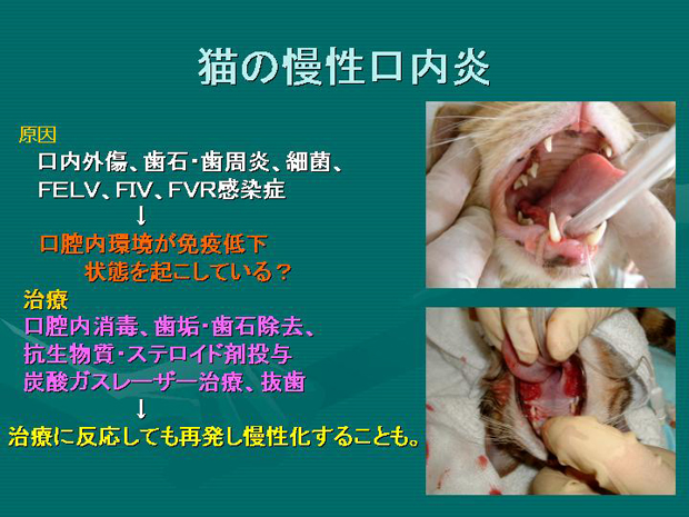 33.猫の慢性口内炎